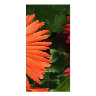 margarita anaranjada del gerbera (3 de 3) impresiones fotográficas