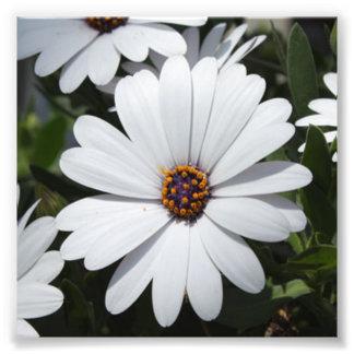 Margarita blanca en la floración cojinete
