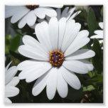 Margarita blanca en la floración impresion fotografica