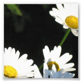 Margarita blanca fotografías