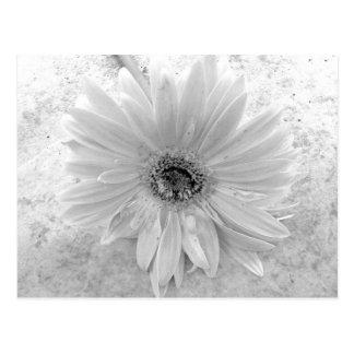 Margarita blanco y negro postales
