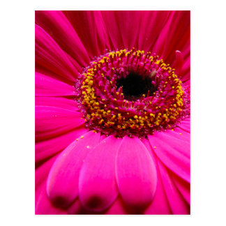 margarita del gerber de las rosas fuertes tarjeta postal