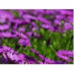Margarita púrpura de las margaritas esculturas fotograficas