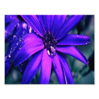 Margarita púrpura fotografía
