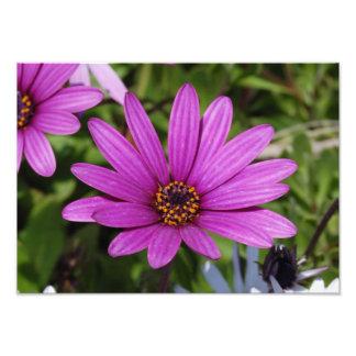 Margarita púrpura fotografias