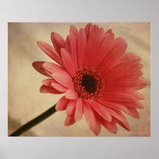 Margarita rosada del Gerbera - impresión fotográfi Póster