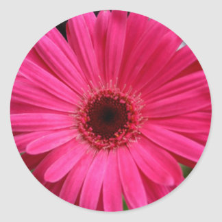 Margarita rosada del Gerbera Pegatina Redonda