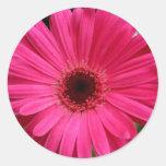 Margarita rosada del Gerbera Pegatinas