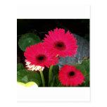 Margarita rosada postales