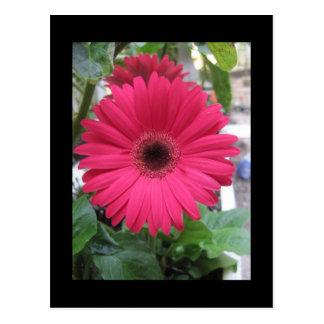 Margarita rosada tarjeta postal