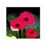Margarita rosada tarjetas postales