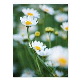 Margaritas blancas en un campo - margarita modific arte con fotos