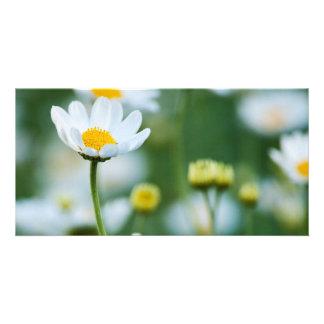 Margaritas blancas en un campo - margarita tarjetas fotográficas personalizadas