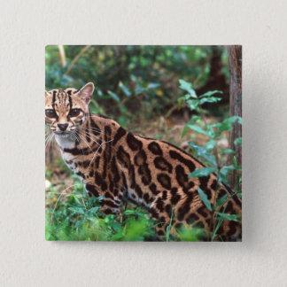Margay, Leopardus wiedi, Native to Mexico into Button