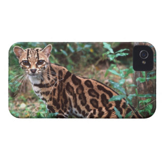 Margay, Leopardus wiedi, Native to Mexico into Case-Mate iPhone 4 Cases