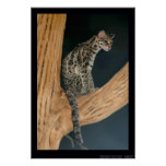 Margay (weidii de Leopardus) Póster