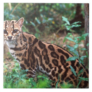 Margay, wiedi de Leopardus, nativo a México en Azulejo Cuadrado Grande