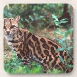 Margay, wiedi de Leopardus, nativo a México en Posavasos De Bebida