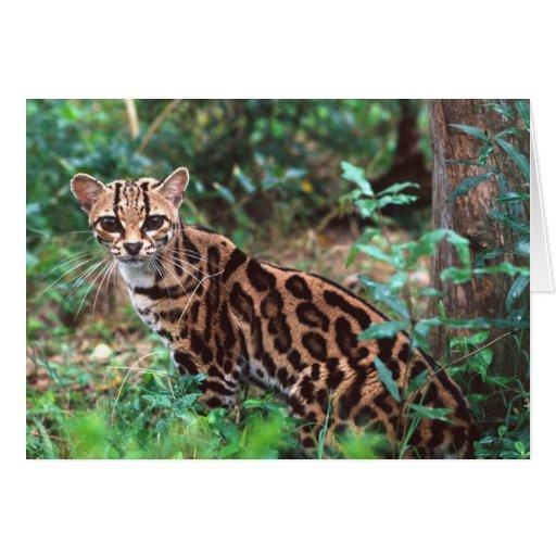 Margay, wiedi de Leopardus, nativo a México en Tarjeta
