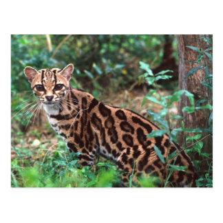 Margay, wiedi de Leopardus, nativo a México en Postal