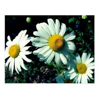 Marguerites Postcard
