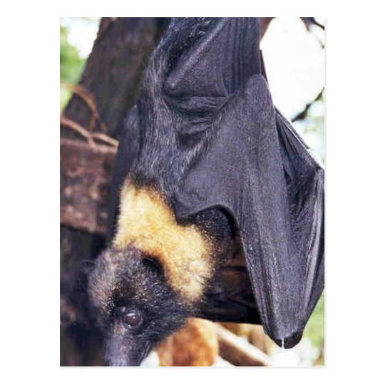 Mariana Fruit Bat Postcard