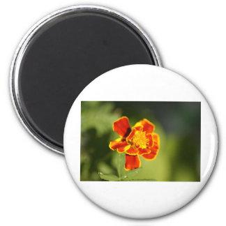 marigold magnet