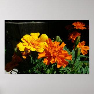 marigold morning glory poster