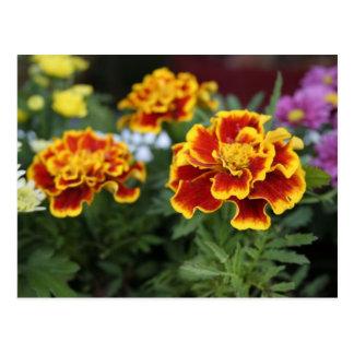 marigold postacrd postcard