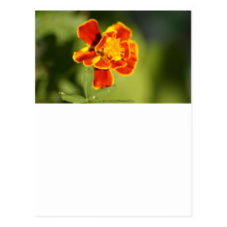 marigold post cards