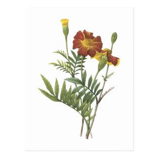 marigold(Tagetes sp.) by Redouté Postcard