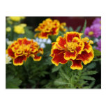 Marigolds Postcard