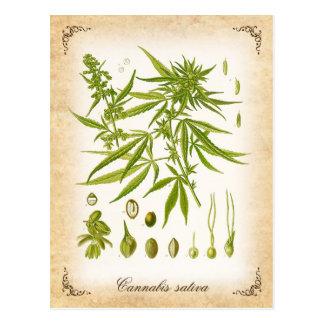 Marijauna Plant - vintage illustration Postcard