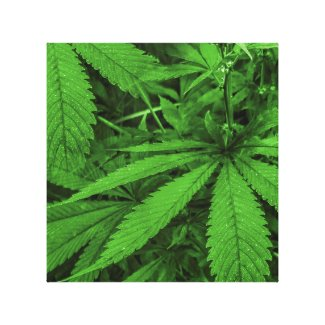 Marijuana Plants Photo Canvas Print