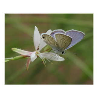 Marine Blue Butterfy on Gaura Bloom Poster