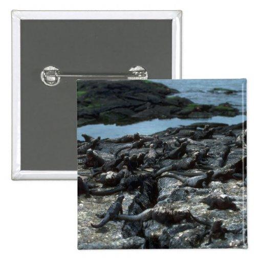 Marine Iguana Colony 2 Inch Square Button