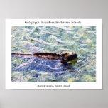 Marine iguana feeding in a shallow pool poster