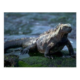 Marine Iguana-Fernandina Island, Galapagos Post Cards