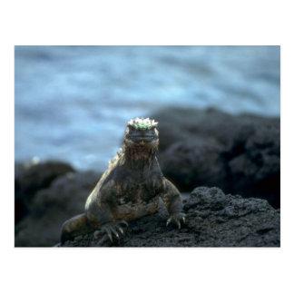 Marine Iguana-Fernandina Island, Galapagos Postcard
