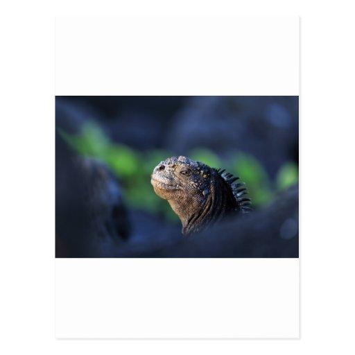 Marine iguana Galapagos Islands Postcard