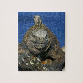 Marine iguana Galapagos Islands Puzzle