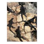 Marine Iguanas, Islas las Plazas, Galapagos Post Cards