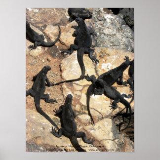 Marine Iguanas, Islas las Plazas, Galapagos Poster