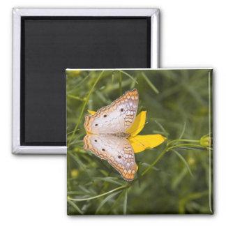 Mariposa amarilla y blanca imán cuadrado