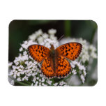 Mariposa anaranjada bonita iman rectangular