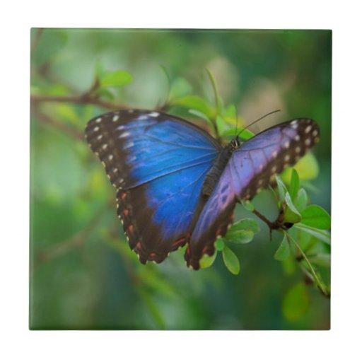 Mariposa azul azulejo cuadrado pequeño
