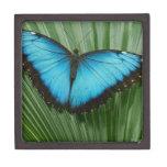 Mariposa azul de Morpho Cajas De Recuerdo De Calidad