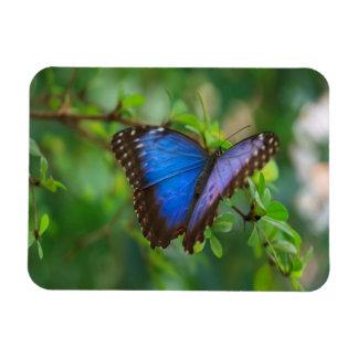Mariposa azul de Morpho Iman Rectangular