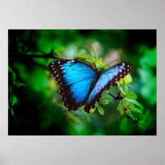 Mariposa azul de Morpho Poster