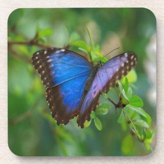 Mariposa azul de Morpho Posavaso